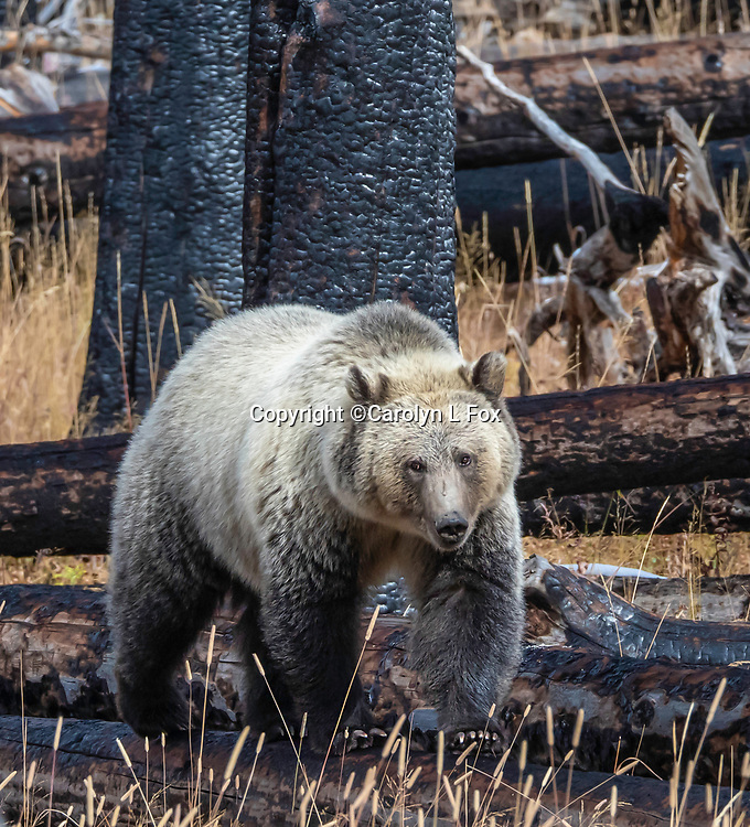 Grizzly bears are sometimes seen in Yellowstone National Park.