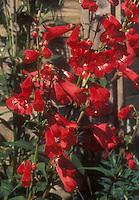 Penstemon Chester Scarlet in flower
