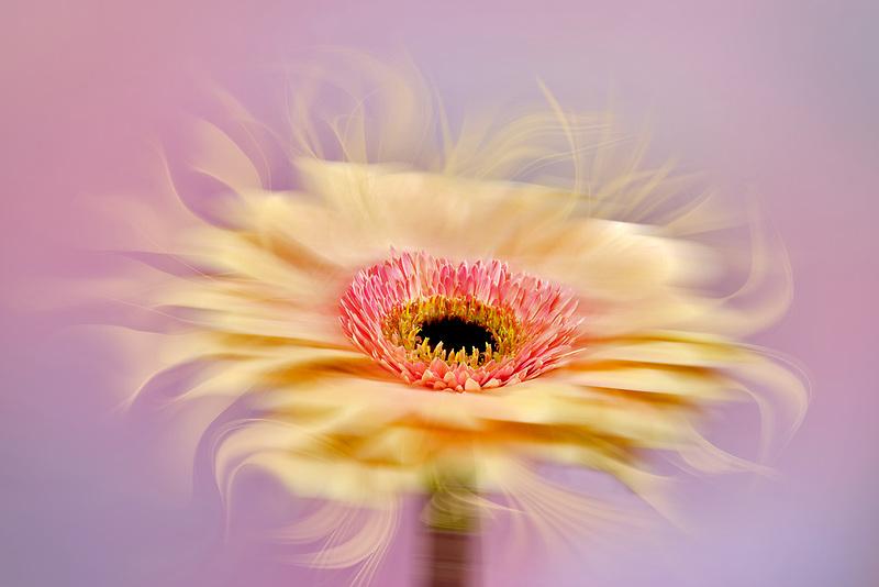 Close up of Gerbera flower, Oregon