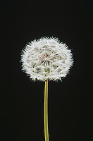 Dandelion (Taraxacum sp.), Raleigh, Wake County, North Carolina, USA