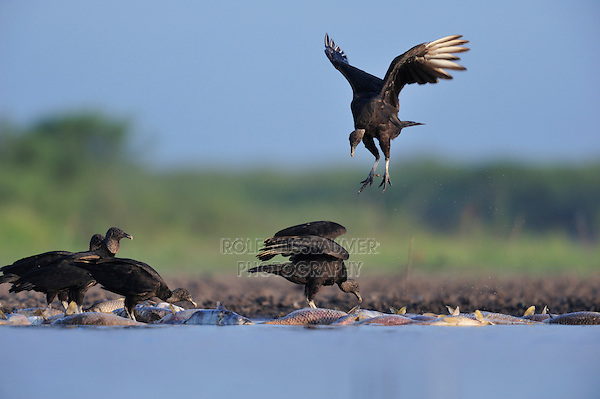 Black Vulture (Coragyps atratus), adults eating on dead fish, Dinero, Lake Corpus Christi, South Texas, USA