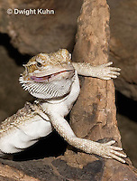 1R15-503z  Bearded Dragon eating insect prey, Popona vitticeps, Amphibolorus vitticeps