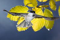 Sumpfmeise, im Flug, Flugbild, fliegend, mit Vogelfutter im Schnabel, Sumpf-Meise, Nonnenmeise, Meise, Meisen, Poecile palustris, Parus palustris, La mésange nonnette