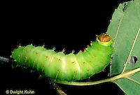 LE41-025a  Polyphemus Moth - caterpillar - Antheraea polyphemus
