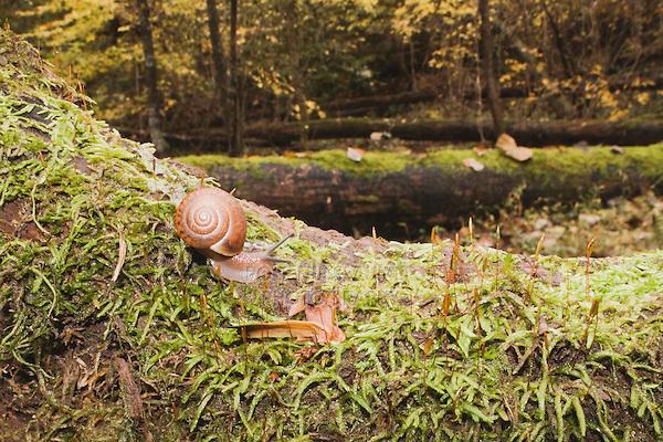 Land Snail (Gastropod) on mossy tree, Raven Rock State Park, Lillington, North Carolina, USA