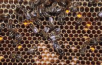 Europe/France/Aquitaine/64/Pyrénées-Atlantiques/Saint-Faust: La cité des abeilles - Détail de l'intérieur d'une ruche