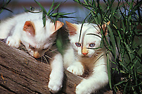 Two Manx kittens on a log.