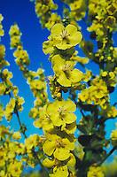 Hoary Mullein, Verbascum pulverulentum, blossom, Camargue, France, May 1993