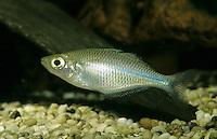 Aquamarin-Regenbogenfisch, Kutubu-Regenbogenfisch, Melanotaenia lacustris, Lake Kutubu rainbowfish, Regenbogenfische, Melanotaeniidae