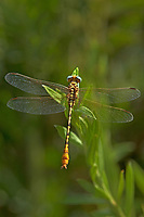 334090022 a wild male russet-tipped clubtail stylurus plagiatus perches on an arroweed plant near el centro in imperial county california united states