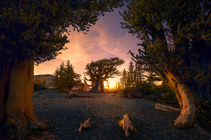 The patriarch of a small bristlecone grove in Nevada's Great Basin, framed with sunset light and a luminous sky.