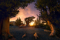 The patriarch of a small bristlecone grove in Nevada's Great Basin, framed with sunset light and a nice sky.
