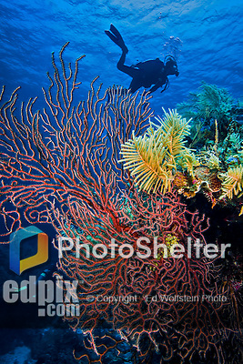 9 June 2015: A deep water gorgonian sea fan (Iciligorgia schrammi) grows on the reef at Spanish Bay Reef, on the North Shore of Grand Cayman Island. Located in the British West Indies in the Caribbean, the Cayman Islands are renowned for excellent scuba diving, snorkeling, beaches and banking.  Mandatory Credit: Ed Wolfstein Photo *** RAW (NEF) Image File Available ***