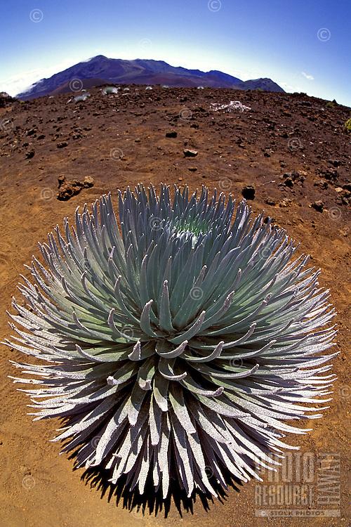 A beautiful silversword in full bloom (argyroxiphium sandwicense), an endangered plant endemic to the Hawaiian islands, here at Haleakala National Park.