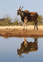 Despite being the world's largest antelope, the eland can still be intimidated by elephants at the watering hole.
