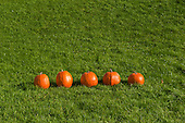 Schenectady, NY. 5 pumpkins in a row outside on the grass. Photos also available of 0, 1, 2, 3, and 4 pumpkins in the same position so can be used for math counting specs. ID: AK-ICP. © Ellen B. Senisi