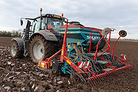 11/1/2021 Drilling Winter Wheat following sugar beet in South Lincolnshire<br /> ©Tim Scrivener Photographer 07850 303986<br />      ....Covering Agriculture In The UK....