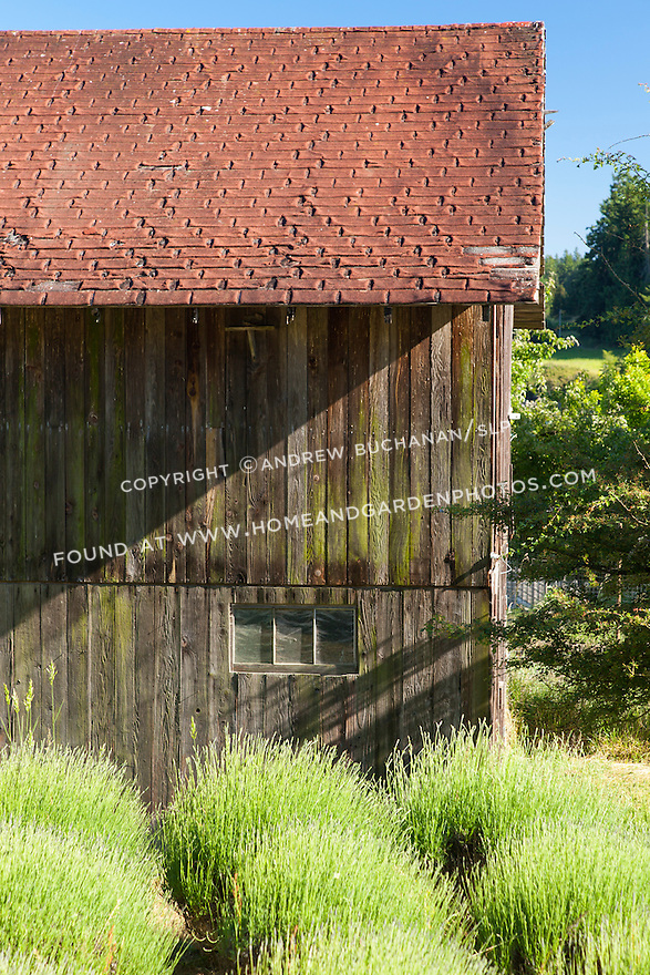 Beds of lavender set against the backdrop off an old barn.