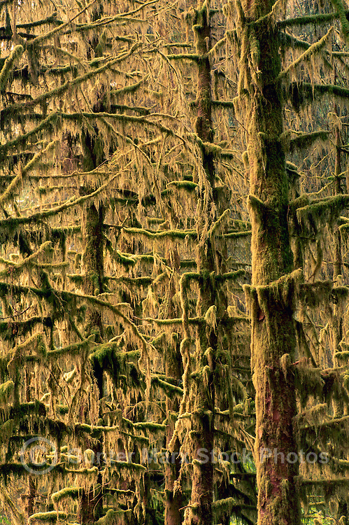 Haida Gwaii (Queen Charlotte Islands), Northern BC, British Columbia, Canada - Lichen and Moss Covered Coniferous Trees and Branches, in Temperate Rainforest on Graham Island