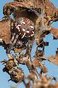Four-spot Orb Weaver Spider female (Araneus quadratus). Peak District National Park, Derbyshire, UK. October.