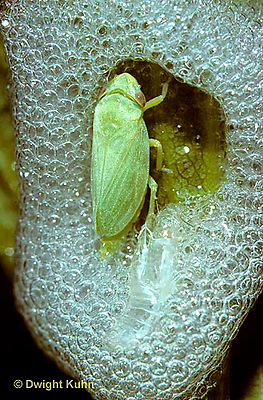 SP05-020b   Spittlebug adult in protective bubble foam coming out of its nymph skin  - Philaenus spumarius