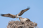Del Mar, California; an Osprey fledgling has its talons in the wing of its sibling as they fight for a large fish that one of the parents had just dropped into the nest
