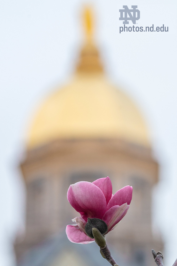 April 11, 2020; Bloom from Magnolia tree in front of the Main Building (Photo by Matt Cashore/University of Notre Dame)