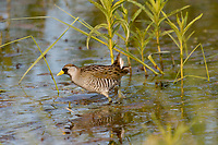Sora or Sora Rail (Porzana carolina). Klamath Marsh National Wildlife Refuge, Oregon.