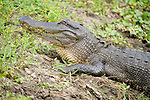 Columbia Ranch, Brazoria County, Damon, Texas; a head shot of an adult American Alligator (Alligator mississippiensis) resting on the bank at the edge of the water, it's tail and hind legs still partially submerged