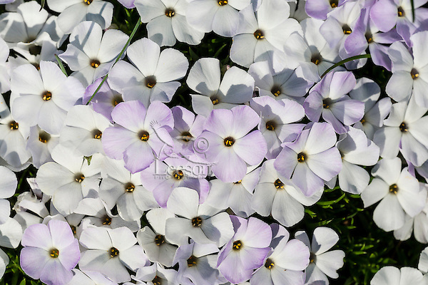 Phlox or spreading phlox (phlox diffusa).  Pacific Northwest.  Common alpine/subalpine wildflower found from British Columbia south to Northern California.