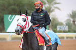 RIYADH, SA February 19 2021: MIRINAQUE (ARG) Track work from King Abddulaziz Racetrack, Riyadh, Saudi Arabia. Shamela Hanley/Eclipse Sportswire/CSM