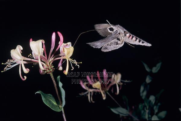 Convolvulus Hawk-Moth, Agrius convolvuli, adult at night drinking out of Honeysuckle (Lonicera sp.) blossom, Oberaegeri, Switzerland, Europe