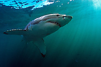 Great White Shark (Carcharodon carcharias) off Dyer Island