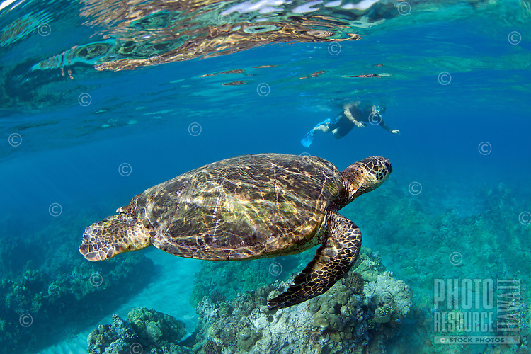 Close-up of green sea turtle with snorkeler in the background in Makena, Maui.