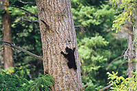 Black Bear (Ursus Americanus) cub climbing tree.  Western U.S.