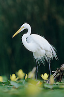 Great Egret, Ardea alba,adult with Yellow Water Lily, Welder Wildlife Refuge, Sinton, Texas, USA