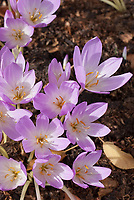 Colchicum 'William Dykes', autumn flowering bulbs
