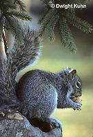 MA23-011z  Gray Squirrel - eating in winter - Sciurus carolinensis