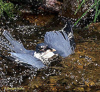 KG03-038x  Belted Kingfisher - male diving for fish in stream, caught fish, flying out - Megaceryle alcyon