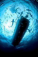 Caribbean reef sharks, Carcharhinus Perezii, Caribbean reef sharks schooling under a dive boat, Nassau, Bahamas