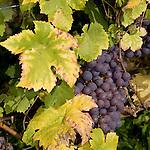Europa, DEU, Deutschland, Baden Wuerttemberg, Markgraeflerland, Breisgau, Ehrenkirchen, Wein, Weinreben, Weinanbau, Reben, Trauben, Blaetter, Weinblaetter, Kategorien und Themen, Landwirtschaft, Landwirtschaftlich, Agrar, Agrarwirtschaft, Erzeugung, Landwirtschaftliche Produkte, Tourismus, Touristik, Touristisch, Touristisches, Urlaub, Reisen, Reisen, Ferien, Urlaubsreise, Freizeit, Reise, Reiseziele, Ferienziele....[Fuer die Nutzung gelten die jeweils gueltigen Allgemeinen Liefer-und Geschaeftsbedingungen. Nutzung nur gegen Verwendungsmeldung und Nachweis. Download der AGB unter http://www.image-box.com oder werden auf Anfrage zugesendet. Freigabe ist vorher erforderlich. Jede Nutzung des Fotos ist honorarpflichtig gemaess derzeit gueltiger MFM Liste - Kontakt, Uwe Schmid-Fotografie, Duisburg, Tel. (+49).2065.677997, ..archiv@image-box.com, www.image-box.com]