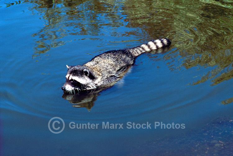 Wild Raccoon (Procyon lotor) swimming in Lake