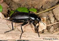 1C37-529z  Darkling Beetle, Eleodes suturalis