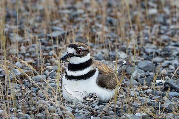 Killdeer (Charadrius vociferus) nest with mom sitting on newly hatched chick.  Western U.S., Spring.