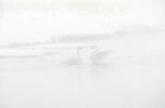 F 010 The Celebration - Trumpeter Swan (Cygnus buccinator) National Wapiti-Elk Refuge, WY..#PRINT-2580.00