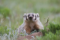 American Badger (Taxidea taxus), young at den, Rocky Mountain National Park, Colorado, USA