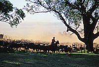 Cowboy working a cattle herd on Parker Ranch, Waimea (Kamuela)