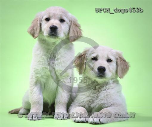 Xavier, ANIMALS, dogs, photos(SPCHdogs453b,#A#) Hunde, perros
