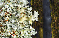 A close-up of mostly white lichen growing on a wooden pole in Waimea, Big Island.