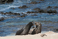 Hawaiian monk seals, Neomonachus schauinslandi, Critically Endangered endemic species; a 5 year old male (RO36) scuffles with a female, (R318); on beach at west end of Molokai, USA, Pacific Ocean